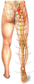 Risultati immagini per nervo sciatico