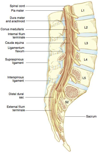Groß Conus Medullaris Anatomy Fotos - Anatomie Von Menschlichen ...