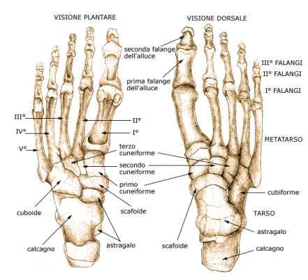 struttura del piede